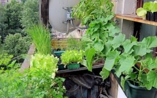 Что можно выращивать на балконе круглый год